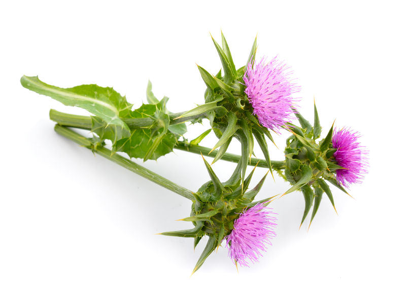 Milk thistle side effects of berberine